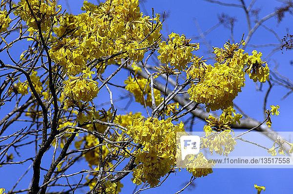 Blüen des Ipe Baumes  Trompetenbaum  Tabebuia ochracea  Pantanal  Brasilien  Südamerika