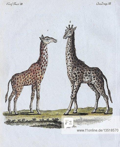 Giraffen (Giraffa camelopardalis)  handkolorierter Kupferstich aus Friedrich Justin Bertuch Bilderbuch für Kinder  1801  Weimar  Deutschland  Europa