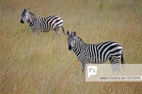 Steppenzebras (Equus quagga) am Abend  Masai Mara  Kenia  Afrika