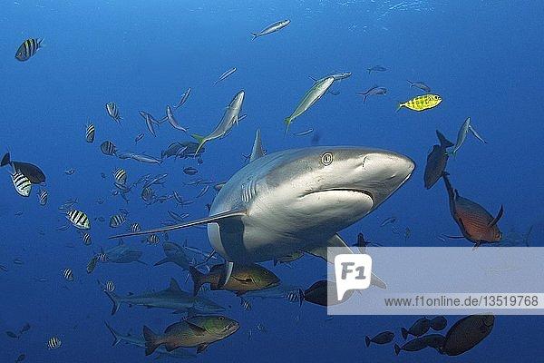 Grey reef shark (Carcharhinus amblyrhynchos) surrounded by small reef fish  Yap  Micronesia  Oceania