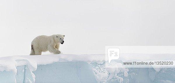 Eisbär (Ursus maritimus)  Jungtier (15 Monate alt) schaut von einem Eisberg herab  Unorganized Baffin  Baffin Island  Nunavut  Canada