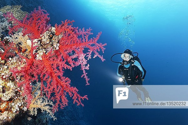 Taucherin mit Lampe betrachtet Klunzingers Weichkorallen (Dendronephthya klunzingeri) an Steilwand von Korallenriff  Rotes Meer  Ägypten  Afrika