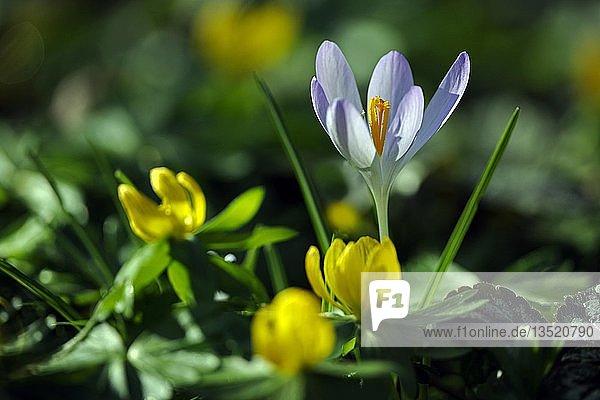 Krokus (Crocus spec.) und Scharbockskraut (Ranunculus ficaria)