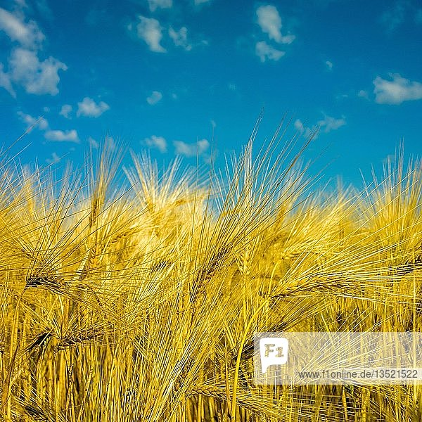 Field of barley with blue sky  background image