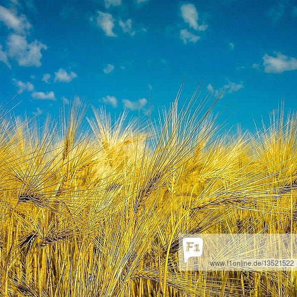 Gerstenfeld mit blauem Himmel,  Hintergrundbild