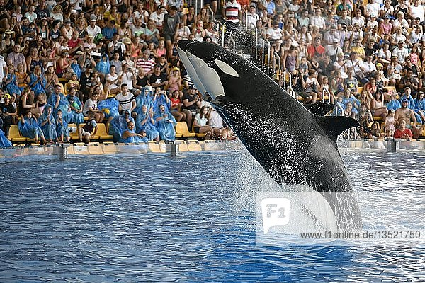 Zwei Schwertwale (Orcinus orca) springen synchron  captive  Orca-Show  Loro Parque  Puerto de la Cruz  Teneriffa  Kanarische Inseln  Spanien  Europa