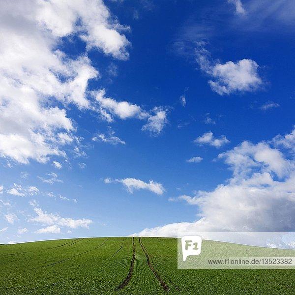 Traktor-Fahrspuren mitten in grünem Feld unter blauem Himmel