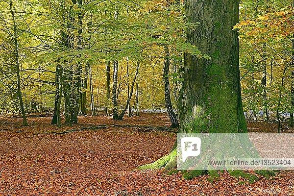 Bemooster Stamm einer alten Buche (Fagus) im Herbst  Urwald Sababurg Naturschutzgebiet  Hessen  Deutschland  Europa