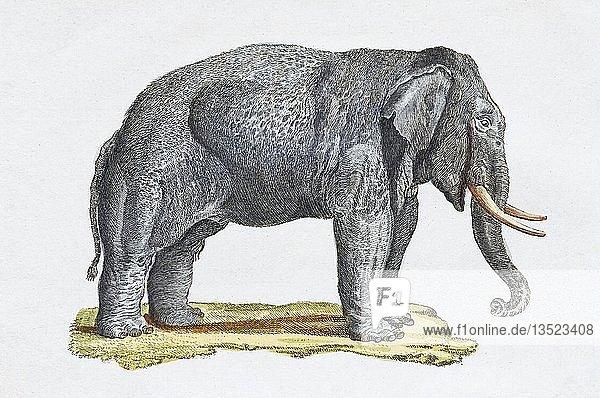 Elefant (Elephantidae)  handkolorierter Kupferstich aus Friedrich Justin Bertuch Bilderbuch für Kinder  1801  Weimar  Deutschland  Europa