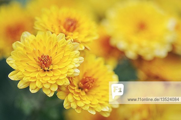Chrysanths  mums (Chrysanthemum indicum)  garden plant  Germany  Europe