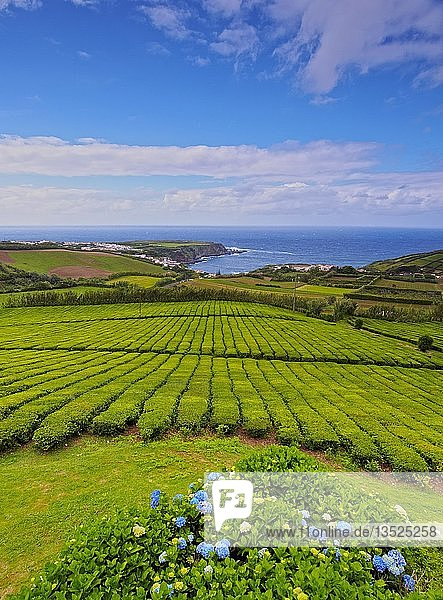 Teefelder  Porto Formoso  Sao Miguel  Azoren  Portugal  Europa