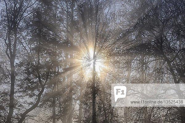 Sonnenstrahlen durchfluten einen nebligen Wald  Landkreis Konstanz  Baden-Württemberg  Deutschland  Europa