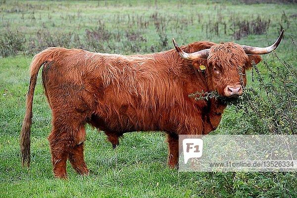 Schottisches Hochlandrind (Bos taurus)  Bulle auf der Weide  Scania  Schweden  Europa