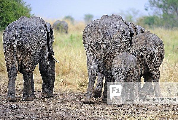 Afrikanische Elefanten (Loxodonta africana)  Elefantenfamilie von hinten  Masai Mara  Kenia  Ostafrika  Afrika
