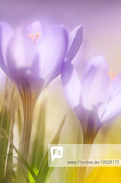 Violetter Frühlingskrokus (Crocus vernus) mit offener Blüte  Baden-Württemberg  Deutschland  Europa
