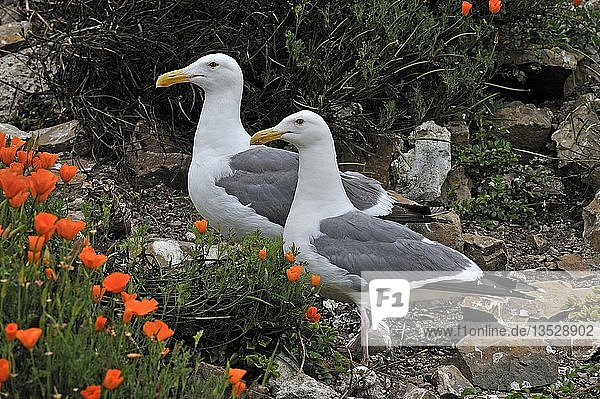 Westmöwen (Larus occidentalis)  Paar  Alcatraz Island  Kalifornien  USA  Nordamerika