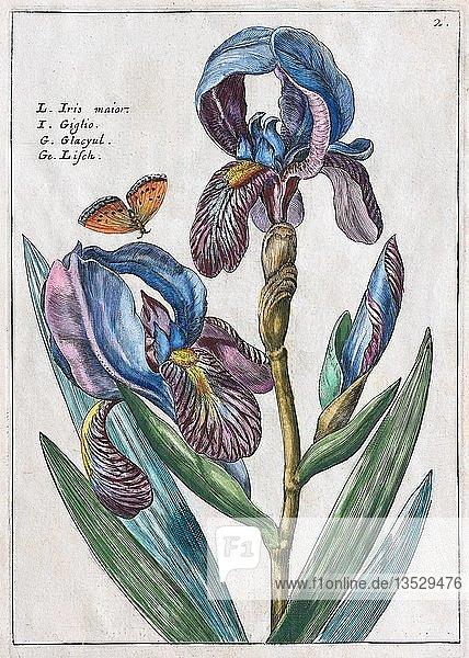 Schwertlilien (Iris)  Handkolorierter Kupferstich aus dem Hortus Floridus  Crispyn van de Passé  1614  Deutschland  Europa
