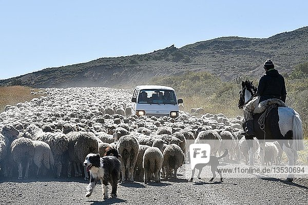 Minibus surrounded by a huge flock of sheep  driven by a gaucho on horseback  between Porvenier and Ushuaia  Tierra del Fuego  Tierra del Fuego  Argentina  South America