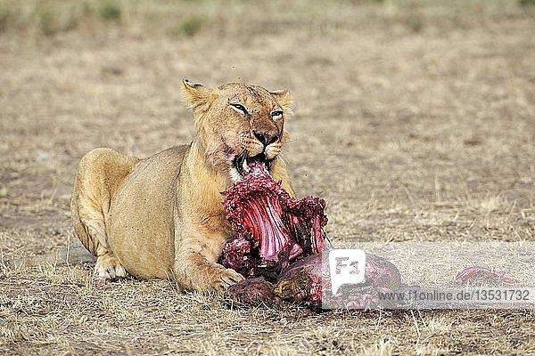 Löwe (Panthera leo) frisst erbeutetes Gnu (Connochaetes taurinus)  Masai Mara  Kenia  Ostafrika  Afrika