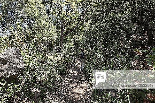 Wanderin auf dem Wanderweg durch Schilf im Barranco de los Cernicalos  bei Los Arenales  Gran Canaria  Kanarische Inseln  Spanien  Europa