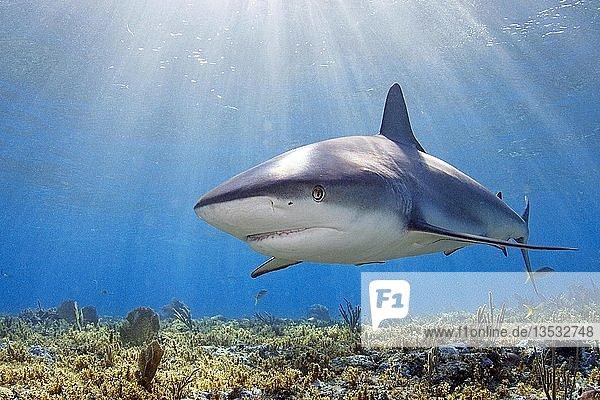 Karibischer Riffhai (Carcharhinus perezi) schwimmt über ein sonnendurchflutetes Korallenriff  Grand Bahama  Bahamas  Mittelamerika