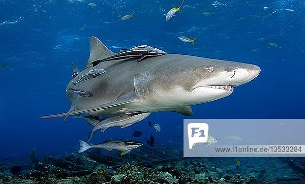 Zitronenhai (Negaprion brevirostris) mit Schiffshaltern (Echeneidae)  Bahama Banks  Bahamas  Mittelamerika
