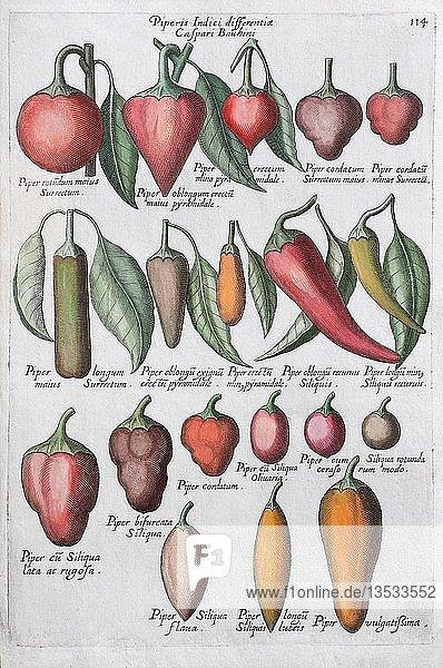 Paprika (Capsicum)  Handkolorierter Kupferstich  Johann Theodor de Bry  aus Florilegium Novum  1611  Deutschland  Europa