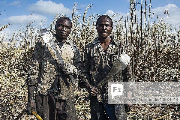 Stolze Zuckerrohrschneider in den verbrannten Zuckerrohrfeldern  Nchalo  Malawi  Afrika