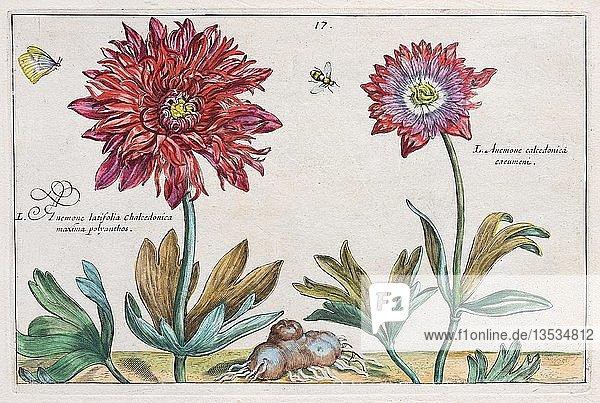 Windröschen (Anemone)  Handkolorierter Kupferstich aus dem Hortus Floridus  Crispyn van de Passé  1614  Deutschland  Europa