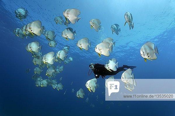 Taucher beobachtet Schwarm Langflossen Fledermausfische (Platax teira)  schwimmt im offenen Meer  Daymaniyat Inseln Naturreservat  Khawr Suwasi  Al-Batina Provinz  Indischer Ozean  Oman  Asien