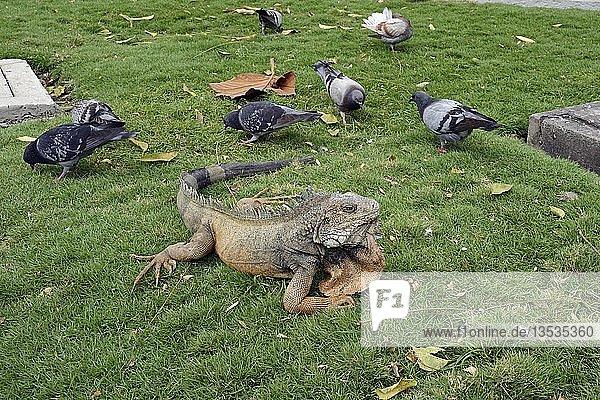 Grüne Leguane (Iguana iguana terrestres) im Parque Seminario oder auch Parque Bolivar oder Parque de las Iguanas  Iguanapark  Guayaquil  Ecuador  Südamerika