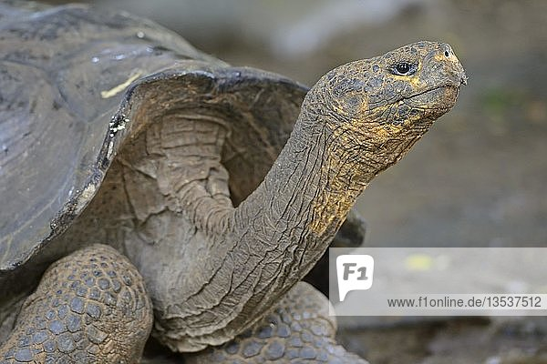 Galapagos-Riesenschildkröte (Geochelone elephantopus chathamensis)  Unterart der Insel San Cristobal  Galapagos  Unesco Weltnaturerbe  Ecuador  Südamerika