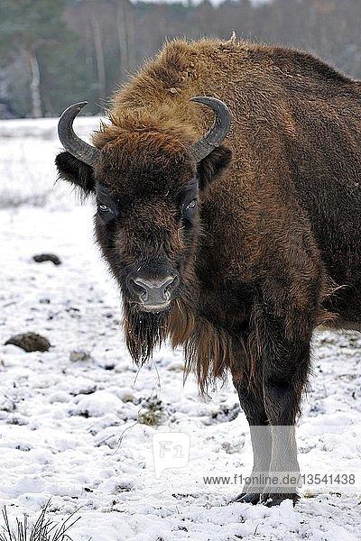 Europäischer Bison (Bison bonasus)  Portrait