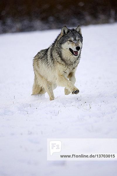 Canis lupus,Canis lupus pambasileus,flüssig,Gefangenschaft,Grauwolf,Jahreszeit