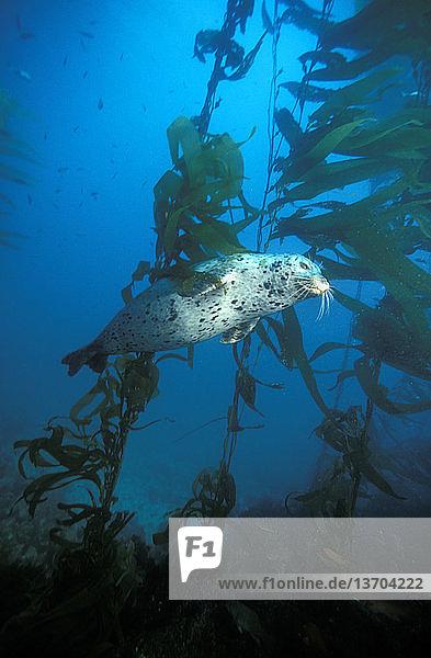 Harbor seal (Phoca vitulina) swimming in kelp forest off the coast of California.