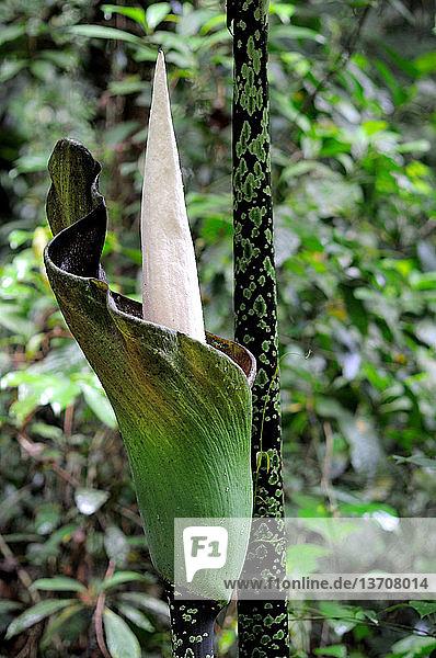 Asien,aufmachen,Bildsequenz,Blume,Borneo,Botanik