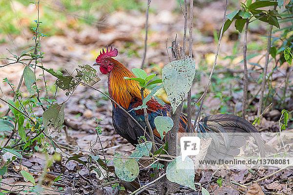 Asien,Assam,Gallus gallus domesticus,Hahn,Huhn,Hühnervogel
