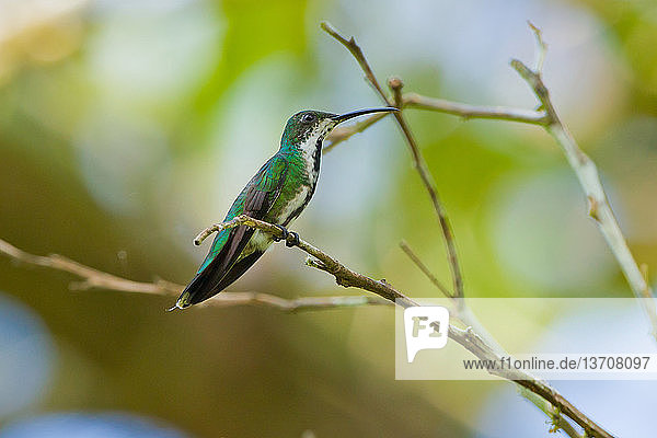 Amerika,Apodiformes,Costa Rica,Farbe,grün,Kolibri