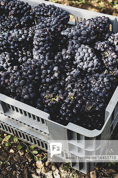 High angle close up of stack of grey plastic crated with freshly picked black grapes at a vineyard. High angle close up of stack of grey plastic crated with freshly picked black grapes at a vineyard.