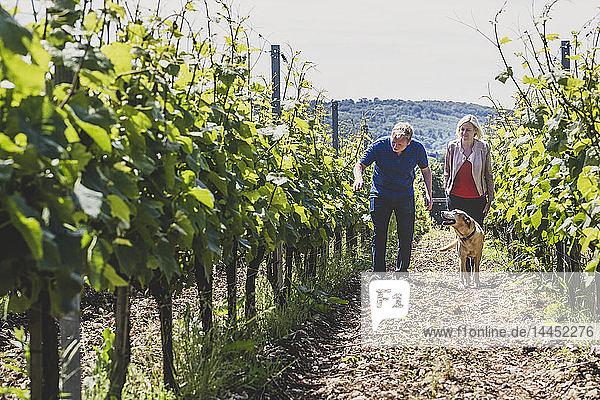 Mann  Frau und Hund beim Spaziergang entlang der Rebzeilen eines Weinbergs  Winzer bei der Kontrolle der Ernte an einem Hang.