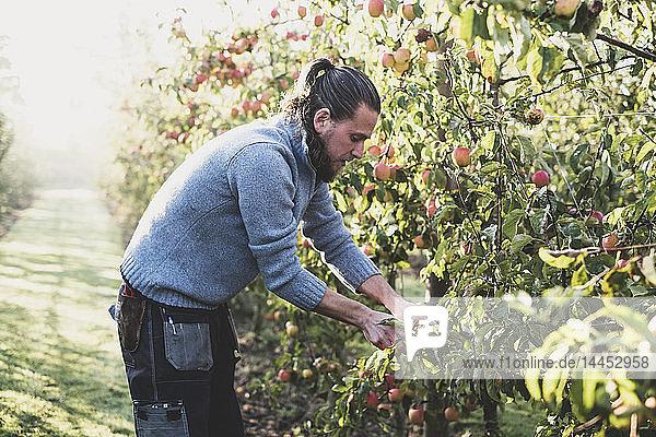 Mann steht im Apfelgarten und pflückt Äpfel vom Baum. Apfelernte im Herbst.