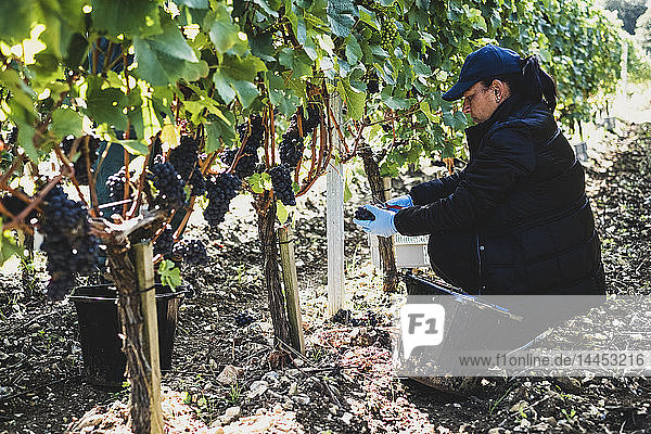 In einem Weinberg kniende Frau bei der Weinlese schwarzer Trauben.