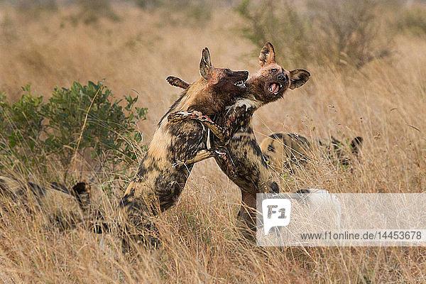 Zwei wilde Hunde  Lycaon pictus  stehen auf den Hinterbeinen und kämpfen  Vorderbeine umeinander  blutige Gesichter  offener Mund mit Zähnen