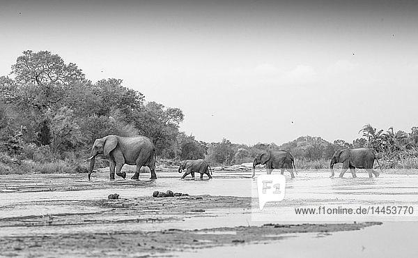 Loxodonta africana  Elefantenherde überquert Sand River.