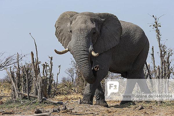 African elephant bull  Loxodonta africana  Khwai conservancy  Botswana  Southern Africa