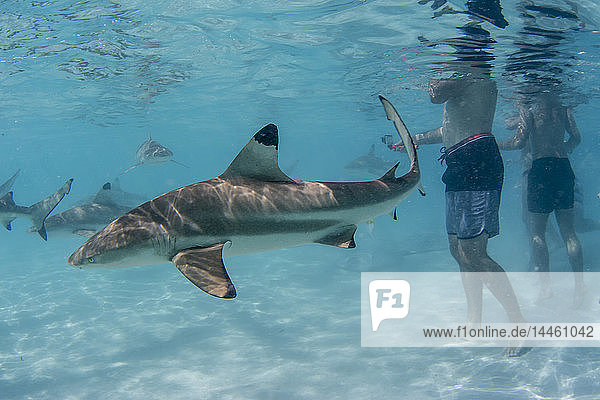 Blacktip reef sharks (Carcharhinus melanopterus) cruising near tourists at Stingray City  Moorea  Society Islands  French Polynesia