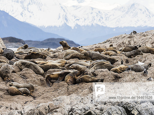 South American sea lions  Otaria flavescens  on a small islet in the Beagle Channel  Ushuaia  Argentina  South America