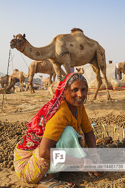 Woman collecting camel droppings to use as fuel  Pushkar Camel Fair  Pushkar  Rajasthan  India