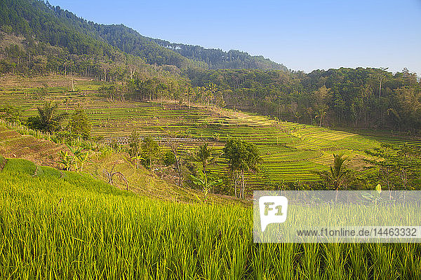 Rice paddies near Borobudur  Magelang  Java  Indonesia  Southeast Asia  Asia
