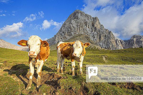 Grazing cows at San Nicolo Pass  Fassa Valley  Trentino  Dolomites  Italy